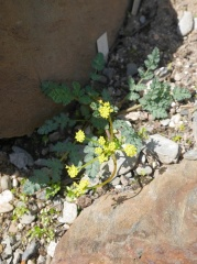 Lomatium martindalei -- The only species of these native american carrots I saw...