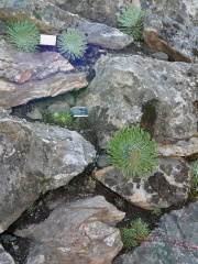 Vertical wall garden  -- A great new feature is this vertical wall....there's nothing in the Scandinavian flora like Saxifraga cotyledon / Mountain Queen / Fjelldronning falling out of cracks in rock in full flower...