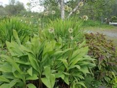 Allium victorialis from Kola flowers earliest