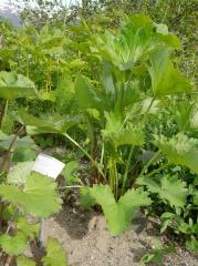Ligularia cf. wilsoniana