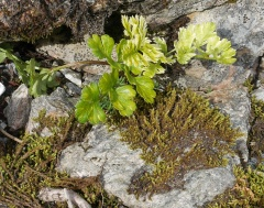 Pleurospermum sp.