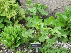 Caltha palustris var himalensis