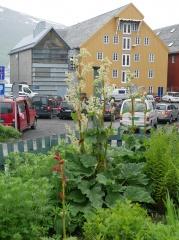 Tromsø garden of historical garden plants  -- Rhubarbs / rabarbra