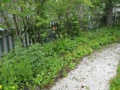 Tromsø garden of historical garden plants  -- Lilium spp. ++++