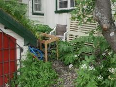 Tromsø garden of historical garden plants  -- Tromso palm / Tromsøpalme (Heracleum persicum)