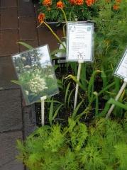Skulgam Gartneri -- Allium victorialis