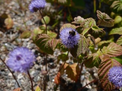 Jasione montana -- Jasione montana is in the Campanulaceae and presumably has edible flowers