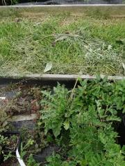 Taraxacum pseudoroseum :)