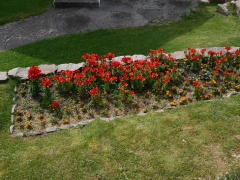 Fire lilies / brannliljer -- Fire lilies / brannliljer (Lilium bulbiferum) have been here since 1974 http://www.naturmuseum.no/fyr/vest/planter/brannlilje.html