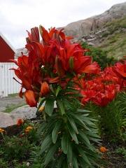 Fasciated fire lily / brannlilje -- Fasciated fire lily / brannlilje (Lilium bulbiferum)