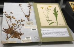 Illustrations -- Illustrations were very important in documenting plants
