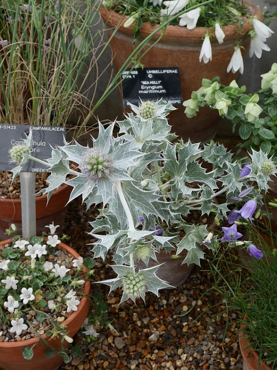 Sea Holly / Eryngium maritimum