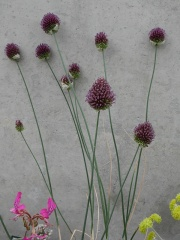 Allium sphaerocephalon -- Allium sphaerocephalon