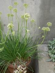 Allium albidum -- Allium albidum