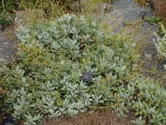 Salvia lavandulifolia subsp. vellerea  -- Salvia lavandulifolia subsp. vellerea