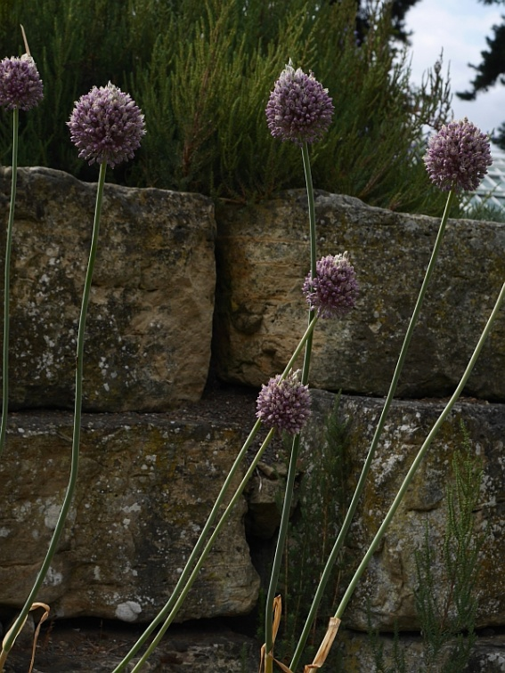 Allium babingtonii