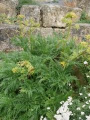 Molopospermum peloponnesiacum -- Molopospermum peloponnesiacum - a minor wild foraged edible in the Pyrenees