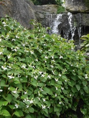 Houttuynia cordata -- Houttuynia cordata (Himalayan water creeper) - the young shoots and rhizomes make a good spring vegetable