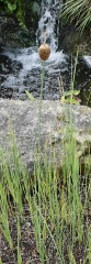 Typha minima -- The smallest of the cattails, fronting the trend in mini-perennial veggies!