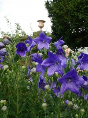 """Platycodon grandiflorus """"Apoyama"""" -- Platycodon grandiflorus """"Apoyama"""" (Balloon Flower), an important vegetable in the Far East. In Korea, it is called doraji.  Its root, either dried or fresh, is used in salads and traditional cooked dishes. Young leaves are also used."""