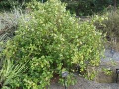Ribes magellanicum -- Ribes magellanicum