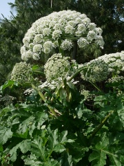 Heracleum spp. (Tromsøpalme?) -- Heracleum spp. (Tromsøpalme?)