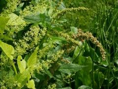 Hablitzia entwined with Good King Henry -- Hablitzia flower shoots entwined with Good King Henry in the Oslo Botanics