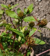Bidens tripartita / Burr marigold -- Bidens tripartita / Burr marigold / Flikbrønsle : leaves are used, cooked