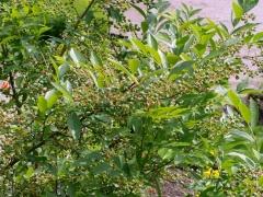 Vaccinium corymbosum / American Blueberry / Sumpblåbær -- Vaccinium corymbosum / American Blueberry / Sumpblåbær