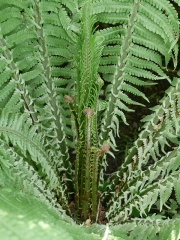 Ostrich Fern / Strutseving -- Ostrich Fern / Strutseving : the short spore-bearing leaves are seen in the centre