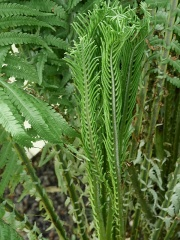 Ostrich Fern / Strutseving -- Ostrich Fern / Strutseving : the short spore-bearing leaves are seen
