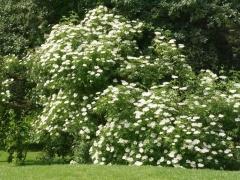Elderberry / Svarthyll -- Elderberry / Svarthyll in full flower