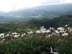 Dryas / Mountain Avens / Reinrose