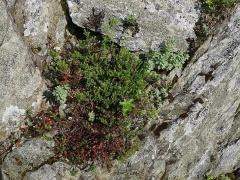Rhodiola rosea, Empetrum nigrum and Alchemilla alpina -- Rhodiola rosea, Empetrum nigrum and Alchemilla alpina
