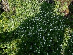 Cornus suecica -- Cornus suecica