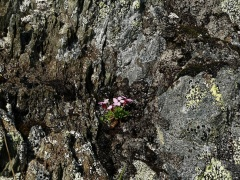 Moss campion / Fjellsmelle -- The smallest moss campion / fjellsmelle mound I've seen :)