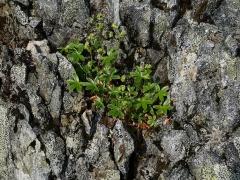 Alchemilla alpina / Alpine Lady's Mantle / Fjellmarikåpe -- Alchemilla alpina / Alpine Lady's Mantle / Fjellmarikåpe