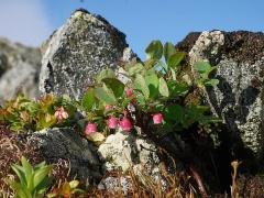 Vaccinium uliginosum/Bog Bilberry/Blokkebær -- Vaccinium uliginosum/Bog Bilberry/Blokkebær