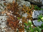 2 or 3 types of Iceland moss / islandsmose