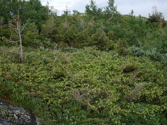 Prostrate spruce / gran -- Prostrate spruce / gran