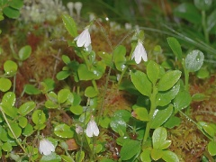 Twin flower / Linnaea borealis -- Twin flower / Linnaea borealis is common in our woods
