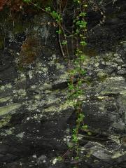 Twinflower / Linnaea borealis -- Twinflower / Linnaea borealis
