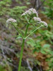 Valerian / vendelrot / Valeriana sambucifolia -- Valerian / vendelrot / Valeriana sambucifolia - pink flowered form