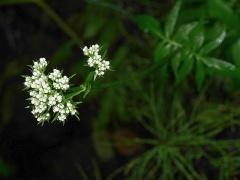 Valerian / vendelrot / Valeriana sambucifolia -- Valerian / vendelrot / Valeriana sambucifolia - white flowered form