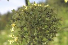 Wild sibiricum at Leangenbukta -- Wild sibiricum at Leangenbukta