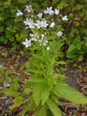 Campanula lactiflora -- Campanula lactiflora / Milky bellflower / Melkeklokke