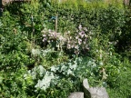 Sea kale, Crambe maritima with other edibles