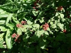 Japanese wineberry (Rubus phoenicolasius) in  bed of comfrey -- Japanese wineberry (Rubus phoenicolasius) in  bed of comfrey