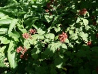 Japanese wineberry (Rubus phoenicolasius) in  bed of comfrey
