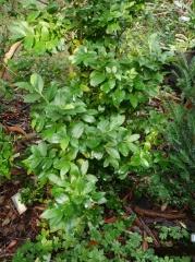 Vaccinium padifolium, Canary Island Blueberry -- Vaccinium padifolium, Canary Island Blueberry
